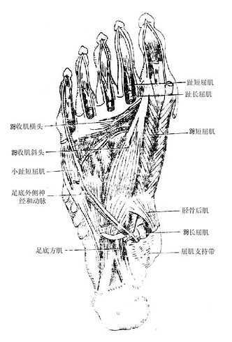腓骨解剖图_小腿前部和足背的深层结构_《人体解剖学》在线阅读_【中医宝典】