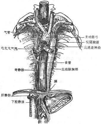 纵隔 人体解剖学 在线阅读