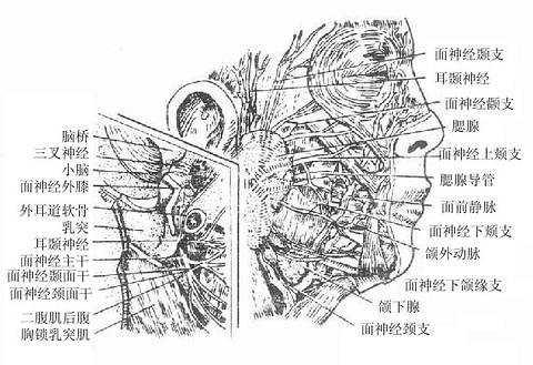 面神经走行图_面部浅层与腮腺区_《人体解剖学》在线阅读_【中医宝典】