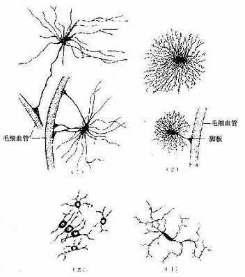 银纤维和金属纤维_神经胶质细胞_《组织学与胚胎学》在线阅读_【中医宝典】