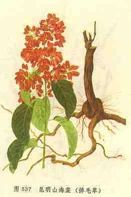 昆明山海棠